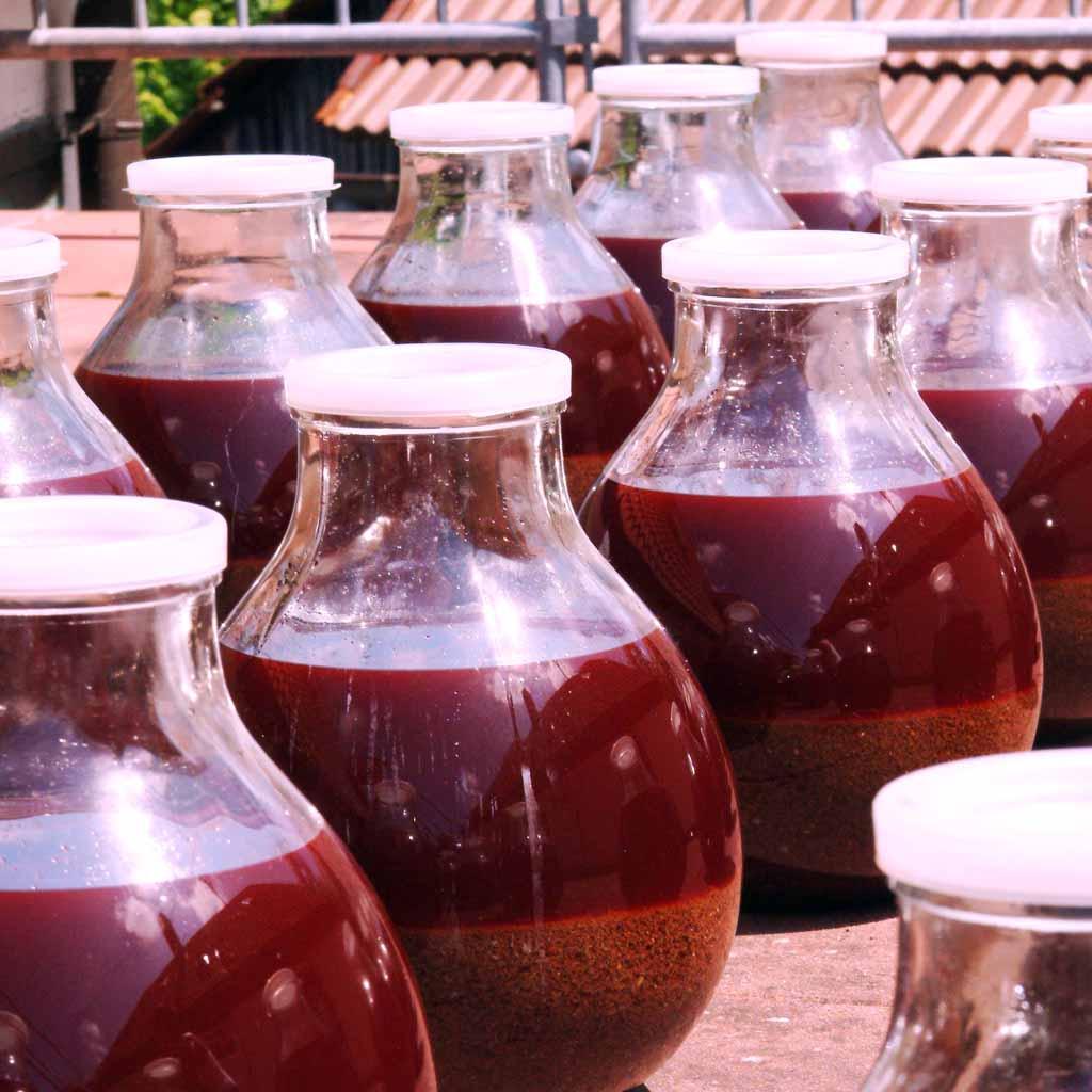 Johanniskraut Reifungsprozess Johanniskrautöl
