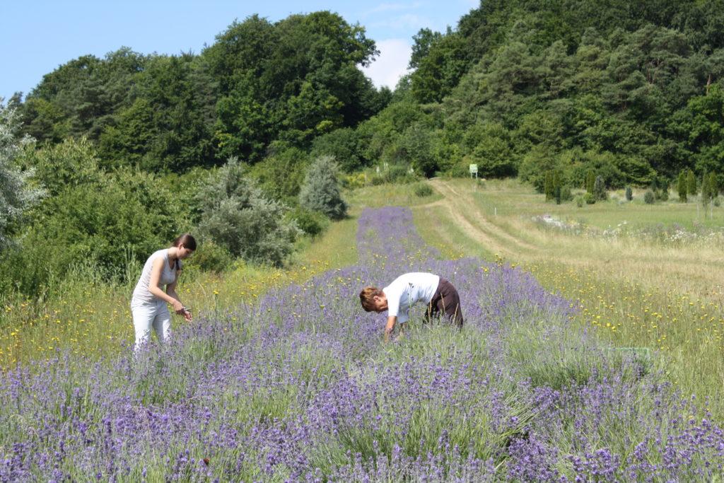 Lavendelernte per Hand auf unserem eigenen Feld im Spessart
