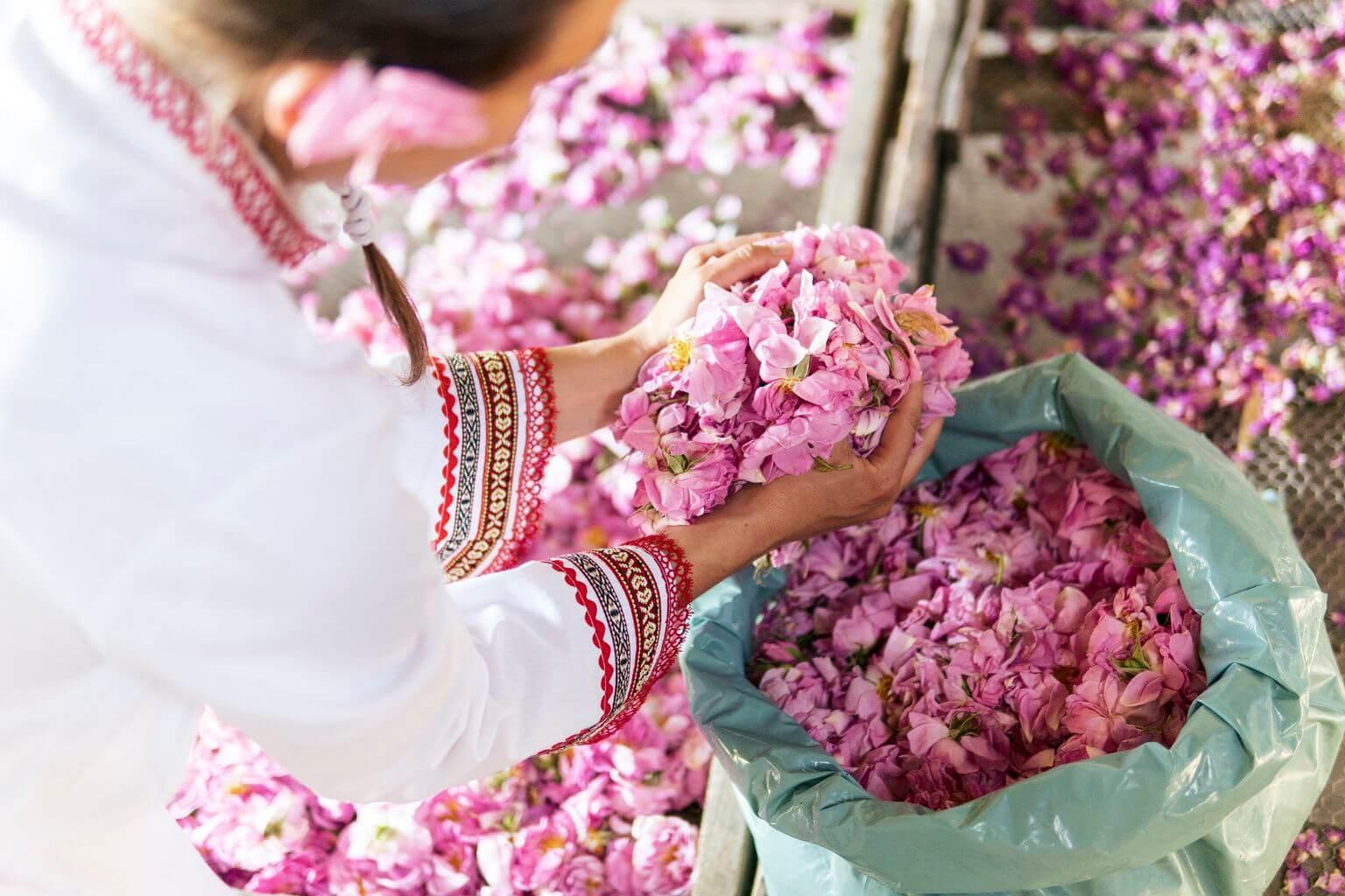 Damaszener Rosenblüten für die Hydrolatherstellung